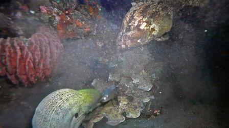 螳螂捕蝉,黄雀在后!海鳗捕食,石斑鱼蠢蠢欲动