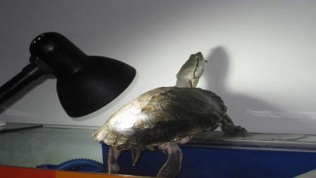 懂养龟的人都知道晒背灯,晒背灯的作用是什么呢?今天算长见识了