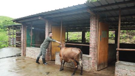 温馨一幕!4年老母牛为小牛仔做的,太有爱了,刮风下雨都挡不住