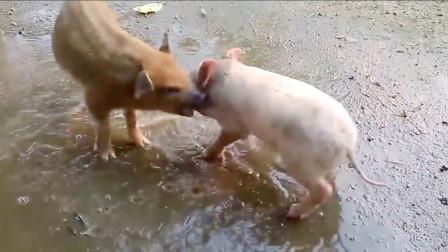 主人把家猪和野猪一起养,没想到发生意外一幕,镜头拍下全过程