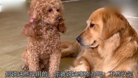 主人让金毛把泰迪逼到墙角,金毛听后,就用头顶着泰迪嘴逼,好逗
