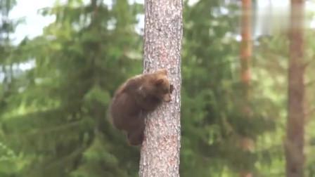 小棕熊学爬树,前爪抱住树子往上爬,还时不时往下看,简直萌翻了