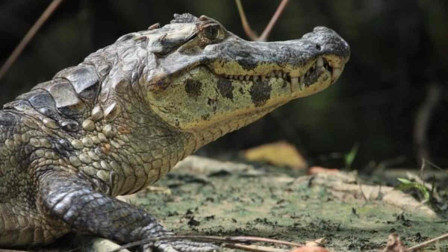最厉害的史前鳄鱼 以恐龙为食体长12米