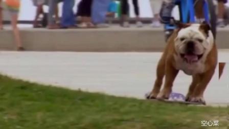 是谁家养的狗狗,溜滑板这么厉害,一般人估计都溜不过它!