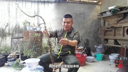 农村小伙走了近20公里,找到这棵金银花树桩,你见过这么粗的吗?