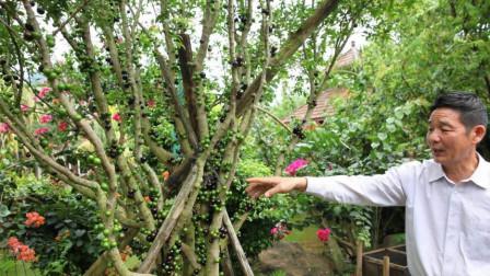此果树阳台也能种!盛果期可长达15年,阳台种2盆,果子堆成山!