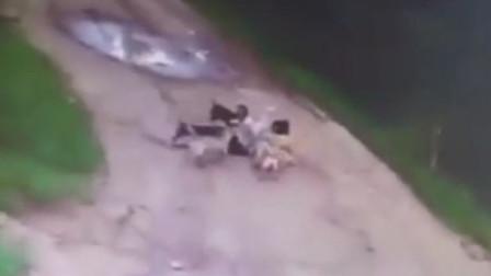 定期喂流浪狗 反遭狗群一涌而上将他咬死