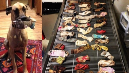 贪吃大丹犬腹中取物  竟是家中失踪的43只袜子