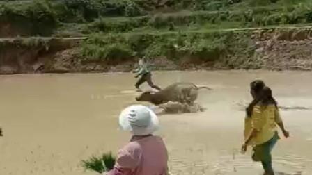 牛:我自己犁的田,想怎么跑就怎么跑!