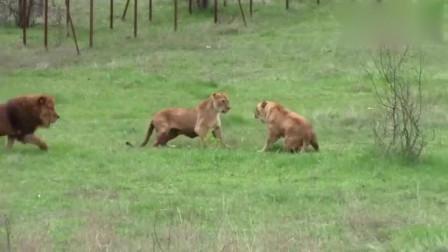 母狮激烈打斗,雄狮赶来插手!一起攻击母狮,游客围观,精彩万分