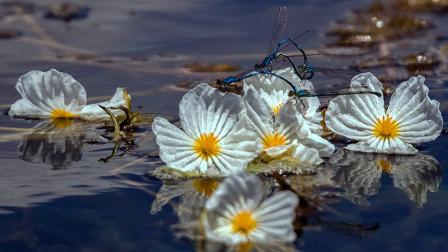 """人间仙境泸沽湖!""""水性杨花""""盛开时,花瓣像是冰雪捏成一般!"""