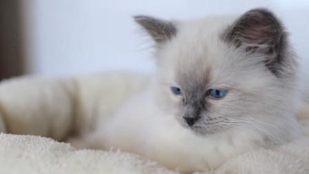 小布偶猫初到新家就嗨皮的探索起来了,一点不认生,奶萌奶萌的