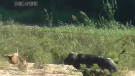 强悍野牛独战2头狮子,狮子直接被干残!