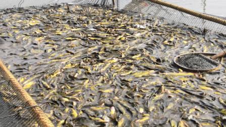 农村大叔养殖黄骨鱼,一网拉了15000斤,大家看看是有这么多吗