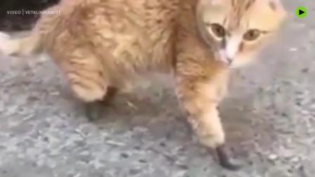 世界首例四只仿生爪猫咪