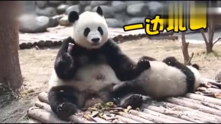 小熊猫:这竹子真香。熊猫妈妈:是啊,我拿去吃了。