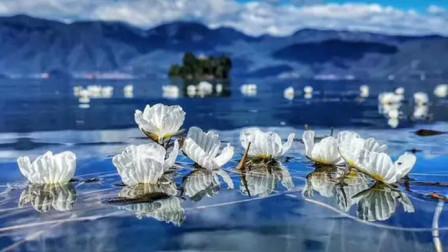 """人间仙境泸沽湖!""""水性杨花""""花瓣近乎透明,被称为植物界的""""网红"""""""