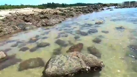 渔民趁大海退潮捡海鲜,没想到连抓大鱼停不下