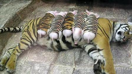 老虎失去虎宝宝,很是伤心,饲养员将小猪放进虎园,会发生什么?
