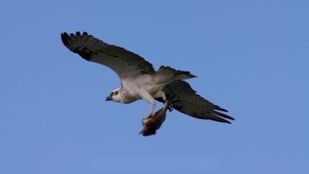 海岛鱼鹰颠覆自然法则,特殊器官助力捕食,高空觅食急速俯冲秒捕获