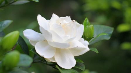 栀子花最佳养殖方法,掌握这几点,叶子碧绿油亮、年年开花!