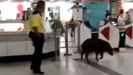 受伤野猪闯入香港地铁站 留下一地血脚印并撞伤女乘客
