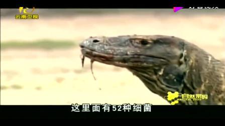 巨蜥刚吞下一只羊,立刻又想捕杀周围的人类,摄制组吓得赶紧跑!