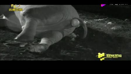 鬣狗扯开了大象的肛门黏膜,里面的气体一下子喷出来,吓坏了鬣狗