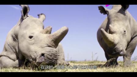 四吨重的犀牛作死撞向越野车,想必它肠子都悔青了,镜头拍下全程