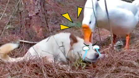 霸道大鹅强行给狗子做按摩!