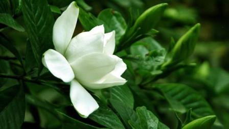 栀子花最佳养殖方法,做到这几点,花开爆盆,叶片四季绿油油!
