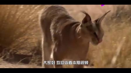 3只胡狼围杀1只狞猫,不料却惨遭反杀,镜头拍下厮杀全过程!