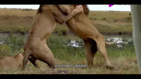 300斤黑熊突袭狮子领地,狮子愤怒之下大开杀戒,二话不说就开干