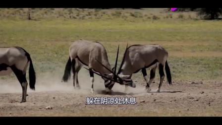 几十条野狗围攻剑羚,不断对它进行掏肛,镜头记录全过程