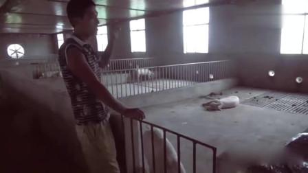 现在要建猪舍的话就建这种半自动养猪场值得收藏