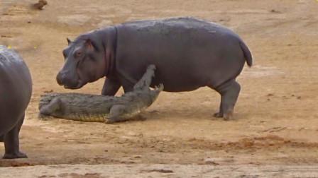 300斤鳄鱼偷袭800斤河马,河马大开杀戒,鳄鱼惨被当玩具耍