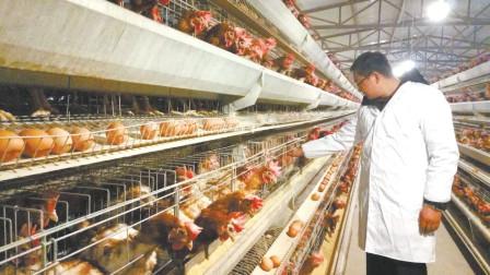 为啥肯德基的鸡从来不缺货,看看他们的养鸡棚,你还吃吗?