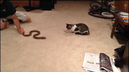 主人用假蛇嚇唬貓咪,貓咪慢慢靠近時,下一秒憋住別笑!