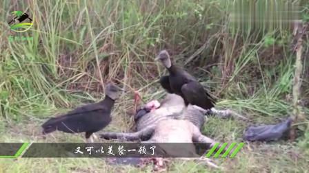 一大一小两只鳄鱼自相残杀,死亡翻滚都用上了,结局太意外