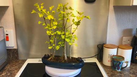 银杏树高大且笔直,它是怎么矮化做成盆栽的呢?今天算长见识了