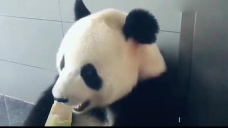 熊猫:我头都撞到了 ,你还在拍视频