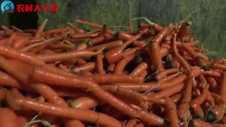分享胡萝卜的种植方法,这样的种植产量高质量好!