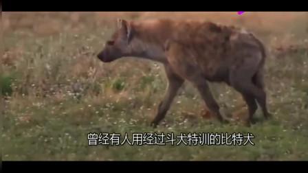 藏獒和鬣狗大战,真能被秒杀?真相在这里,大家一看究竟吧!