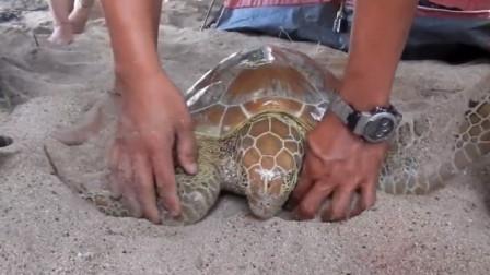 海龟大胆向人类求助,最终获救,网友:幸亏找的不是吃货!