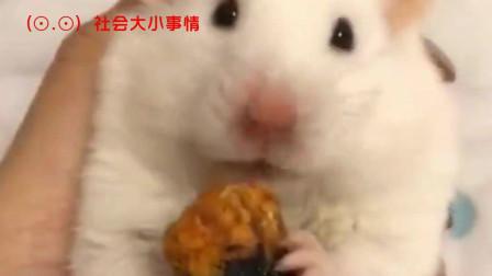 若不是亲眼所见,仓鼠嘴能吃下多少东西,你还真不知道