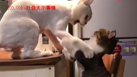 猫咪也怕老婆,这一下就被打蒙了,太受委屈了