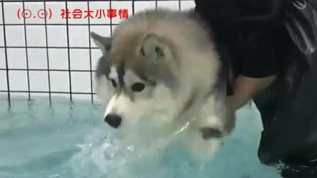 一只小傻狗,想带它游泳,还怕水下来就要走