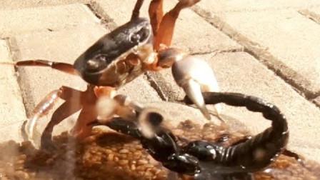 螃蟹和蝎子打架,谁才是真正的胜利者呢?