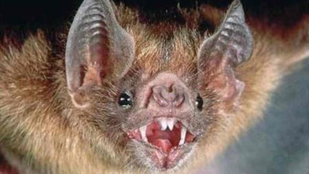 100只吸血蝙蝠可吸干25头母牛血液