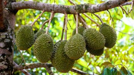 一棵榴莲树结400个果子, 为什么还卖得那么贵? 泰国人说出了原因